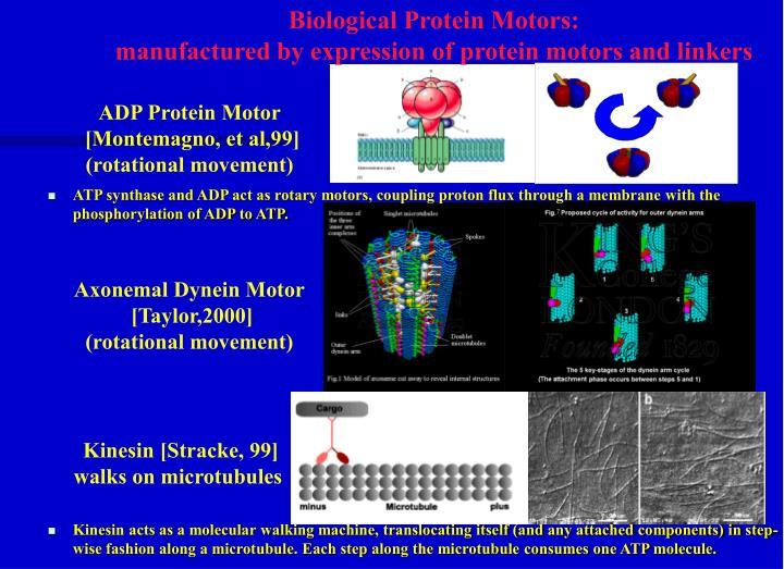 Biological Protein Motors: