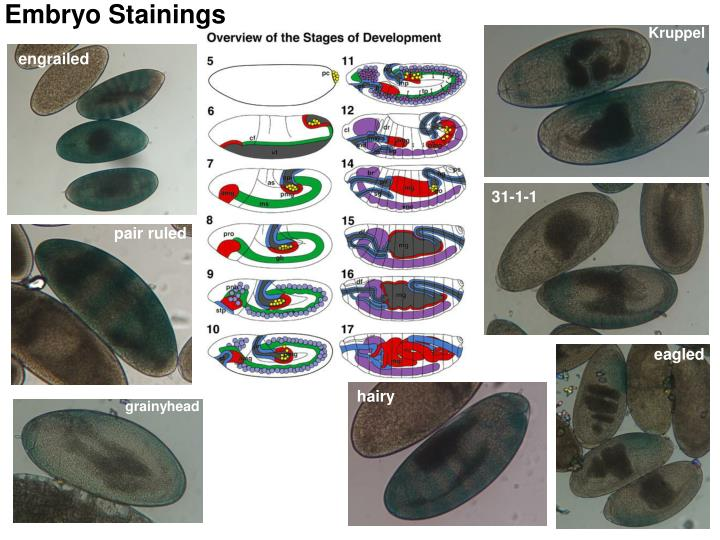Embryo Stainings