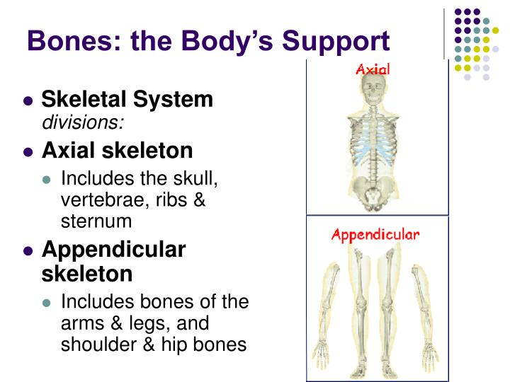 Bones: the Body's Support