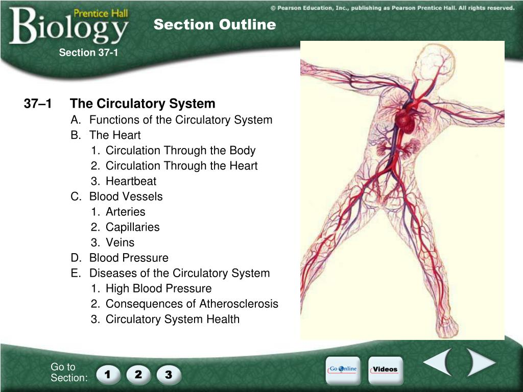 PPT - 37–1 The Circulatory System A  Functions of the
