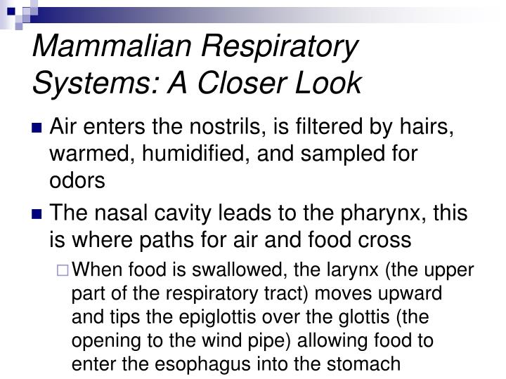 Mammalian Respiratory Systems: A Closer Look