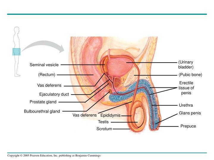 (Urinary