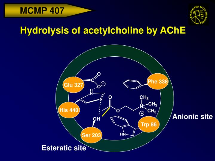 Hydrolysis of acetylcholine by ache