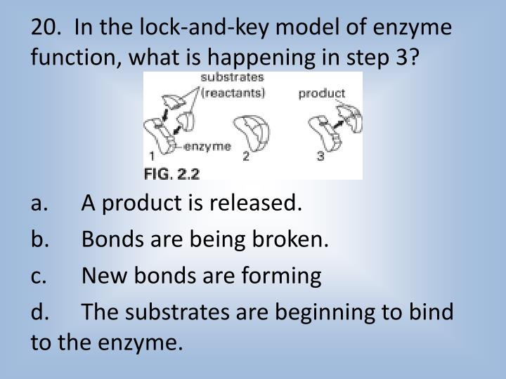 20.  In the lock-and-key model of enzyme function, what is happening in step 3?