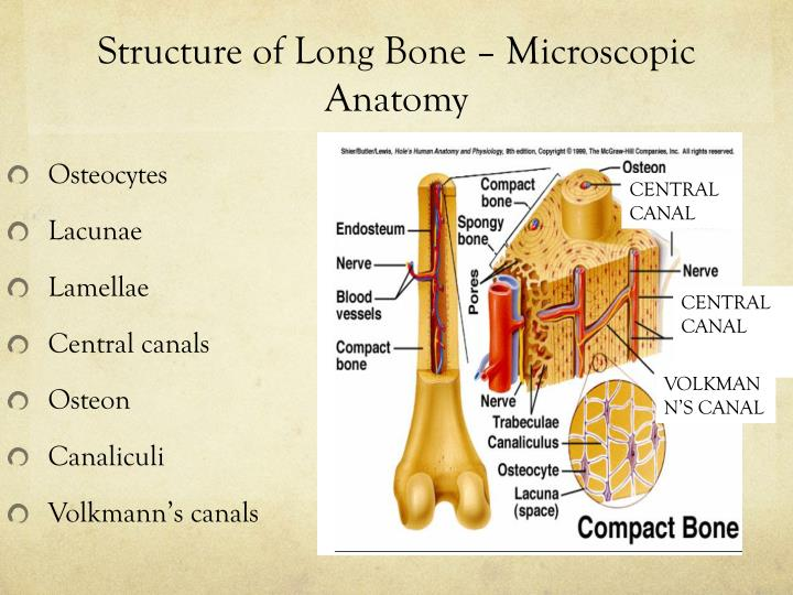 Ppt Skeletal System Day Two Powerpoint Presentation Id3233764