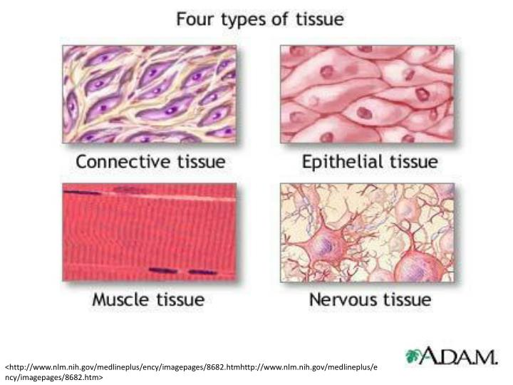 Ppt Types Of Tissue In The Body Powerpoint Presentation Id3244507
