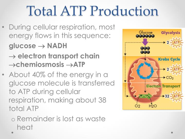 Total ATP Production
