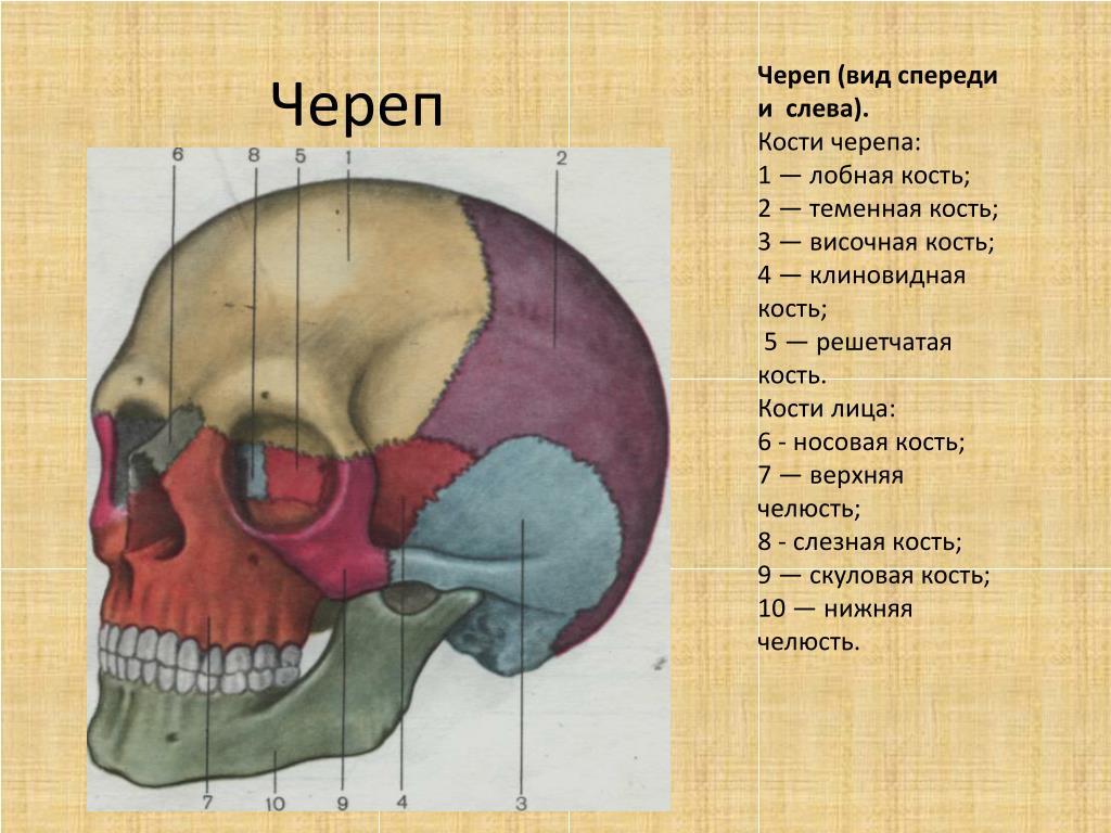 сахар строение черепа и его кости в картинках чипборда