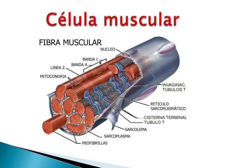 PPT - Exposición del tejido muscular PowerPoint Presentation - ID ...