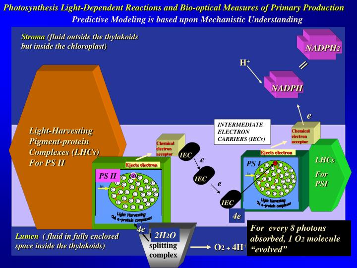 Photosynthesis Light-Dependent Reactions and Bio-optical Measures of Primary Production