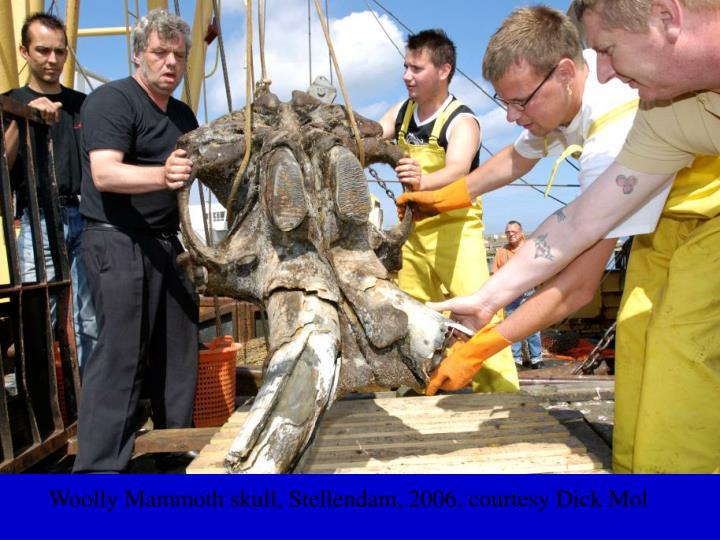 Woolly Mammoth skull, Stellendam, 2006, courtesy Dick Mol