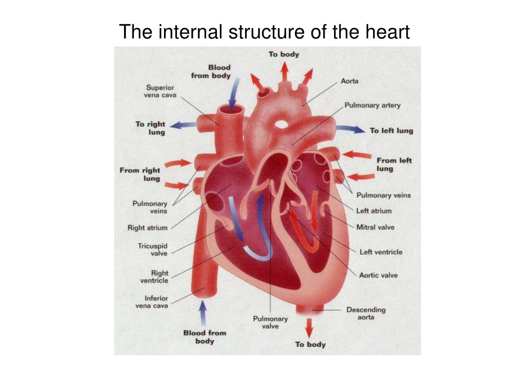 PPT - How your Heart beats… PowerPoint Presentation, free ...