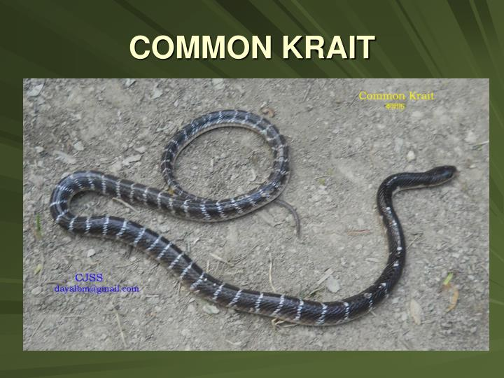COMMON KRAIT