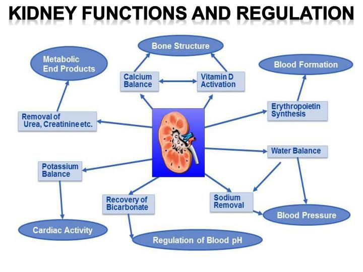 the regulation of erythropoietin production in the kidneys