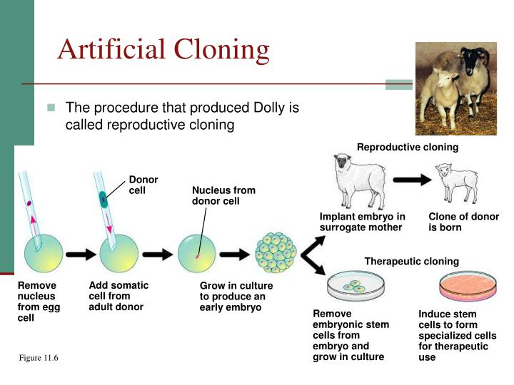 bio ethical issues on artificial cloning Cloning is the process of creating genetically identical copies of biological matter this may include genes, cells, tissues or entire organisms natural clones some organisms generate clones naturally through asexual reproduction plants, algae, fungi, and protozoa produce spores that develop into new individuals that are genetically identical to the parent organism.