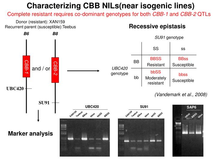 Characterizing CBB NILs(near isogenic lines)