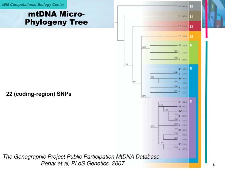 mtDNA Micro-Phylogeny Tree