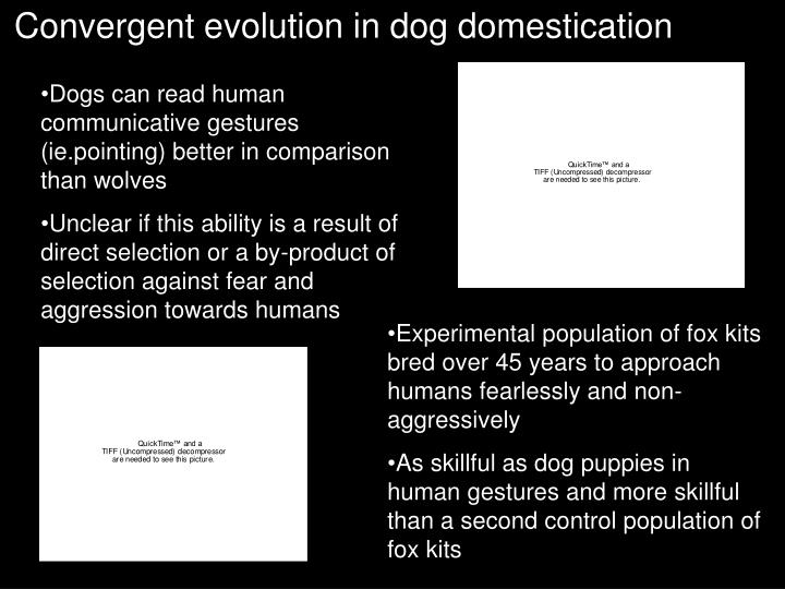 Convergent evolution in dog domestication