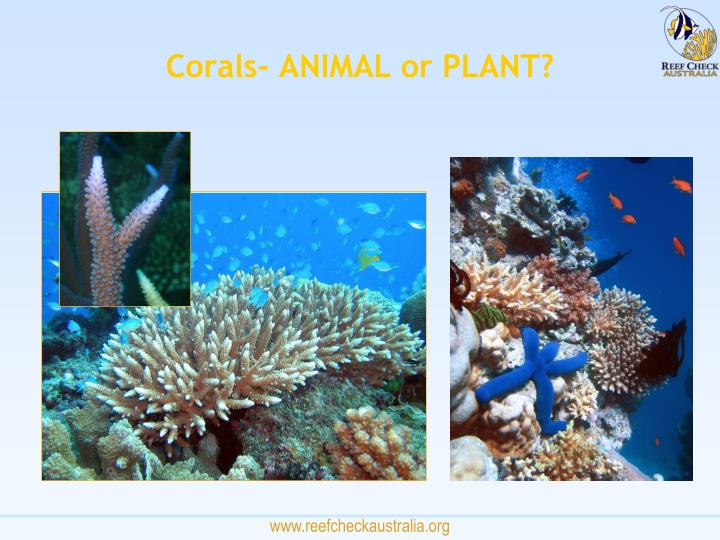 Corals- ANIMAL or PLANT?