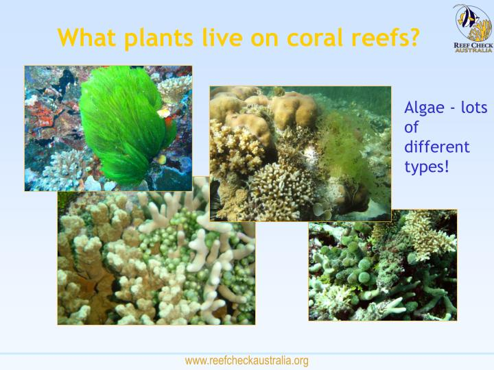 What plants live on coral reefs?