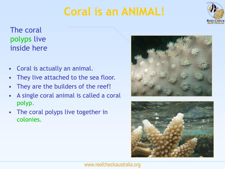 Coral is an ANIMAL!