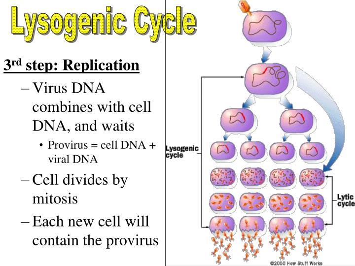 Lysogenic Cycle