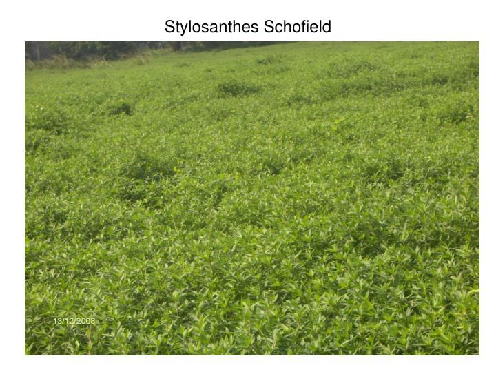 Stylosanthes Schofield