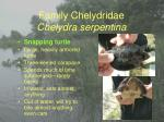 family chelydridae chelydra serpentina