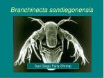 branchinecta sandiegonensis