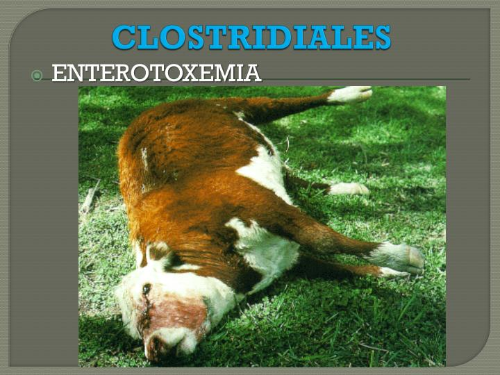 CLOSTRIDIALES