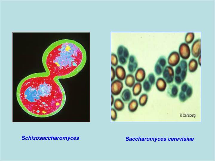 Schizosaccharomyces