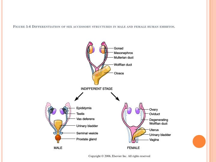 Figure 5-6 Differentiation of sex accessory structures in male and female human embryos.