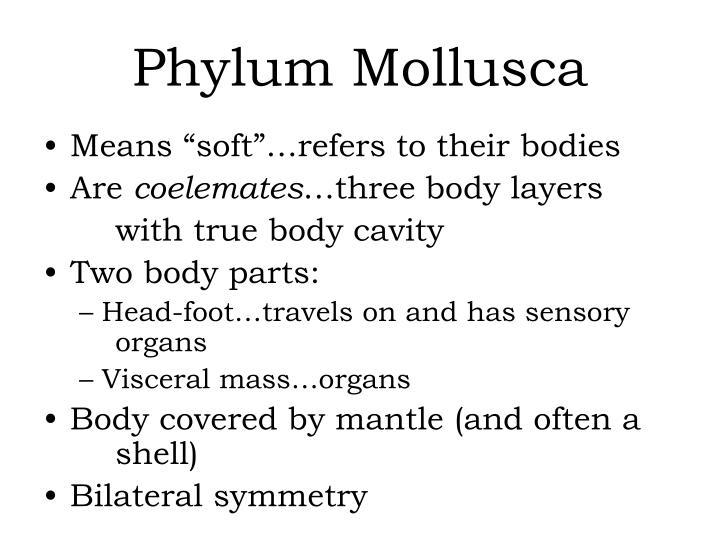 phylum mollusca n.