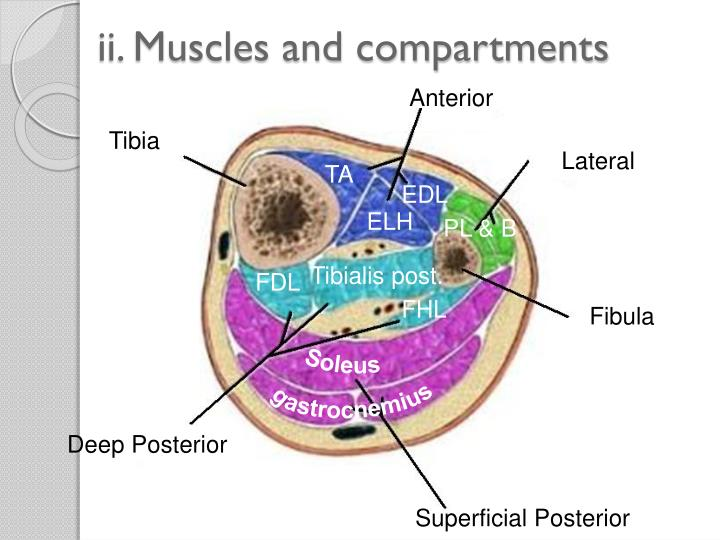 ii. Muscles and compartments