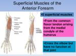 superficial muscles of the anterior forearm