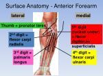 surface anatomy anterior forearm