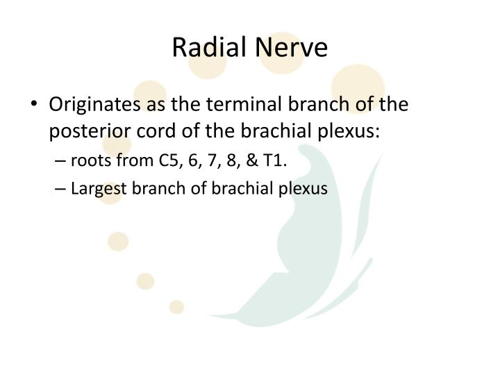 Ppt Radial Nerve Anatomy Episode 1 Powerpoint Presentation Id