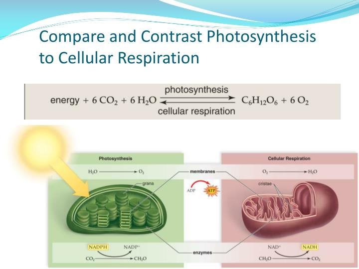 compare respiration and photosynthesis Gather, analyze, and interpret data regarding the basic functions of  photosynthesis and cellular respiration b use direct and indirect evidence to  describe the.