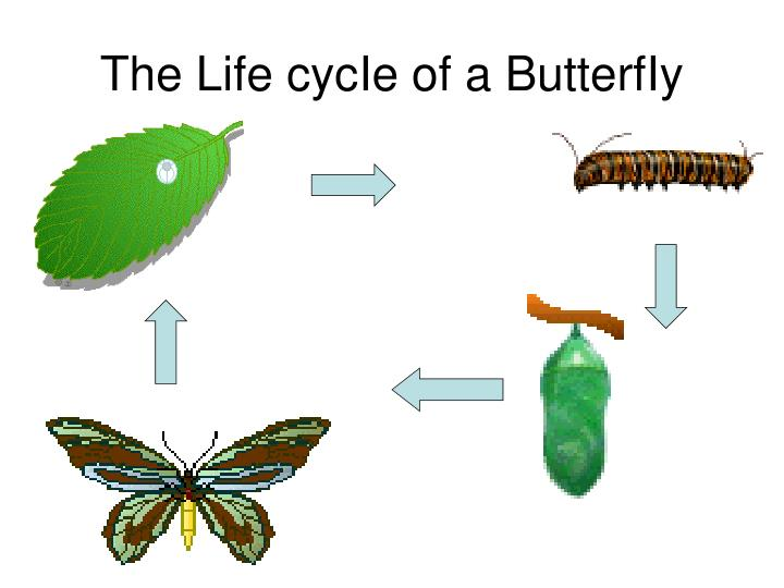the life cycie of a butterfiy n.