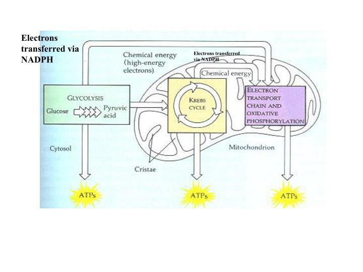 Electrons transferred via NADPH