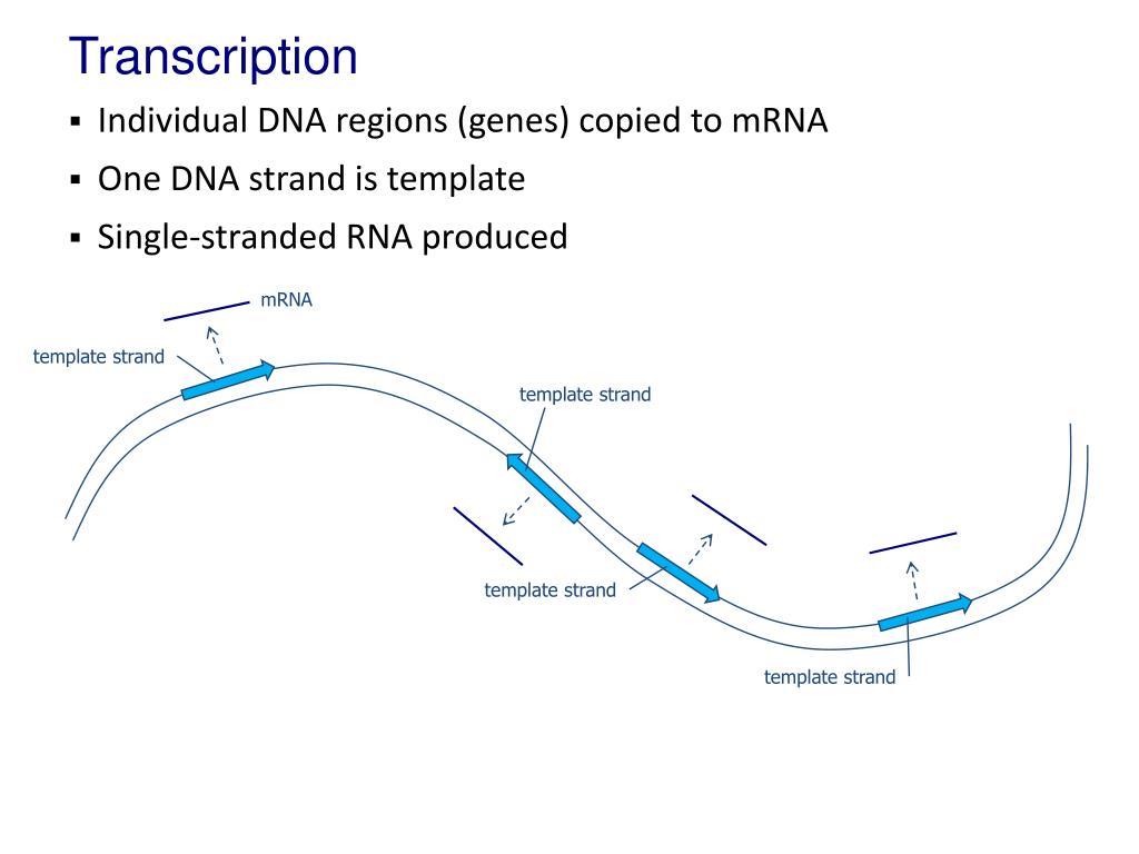 Transcription Point Ppt Presentation