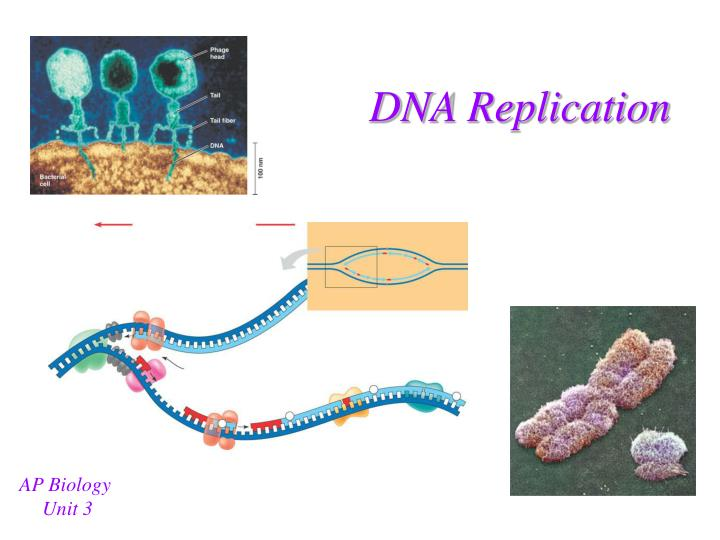 critical analysis of dna replication in bacteria essay Sequence-specific replication termini occur in many bacterial and plasmid chromosomes and dna replication coli and the replication termini of bacterial.