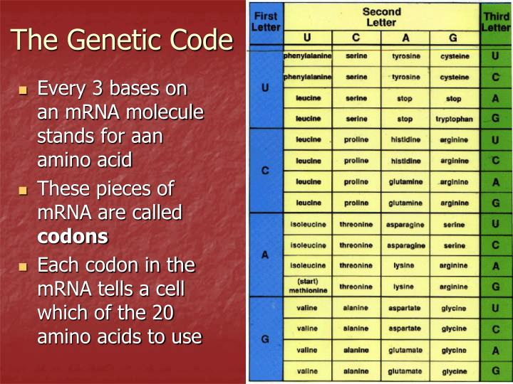 Every 3 bases on an mRNA molecule stands for aan amino acid