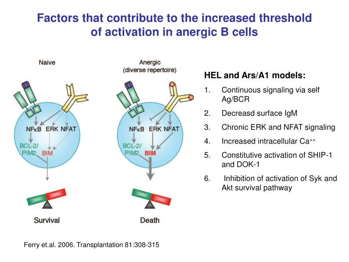 Factors that contribute to the increased threshold of activation in anergic B cells