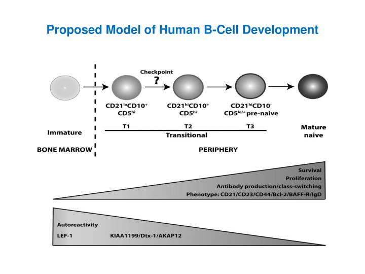 Proposed Model of Human B-Cell Development