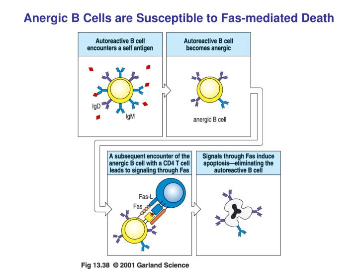 Anergic B Cells are Susceptible to Fas-mediated Death