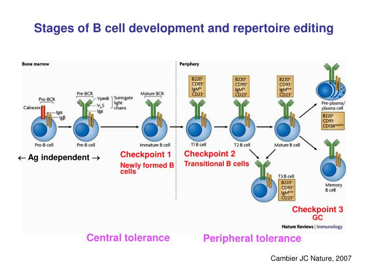 Stages of B cell development and repertoire editing