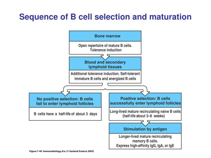 Sequence of B cell selection and maturation