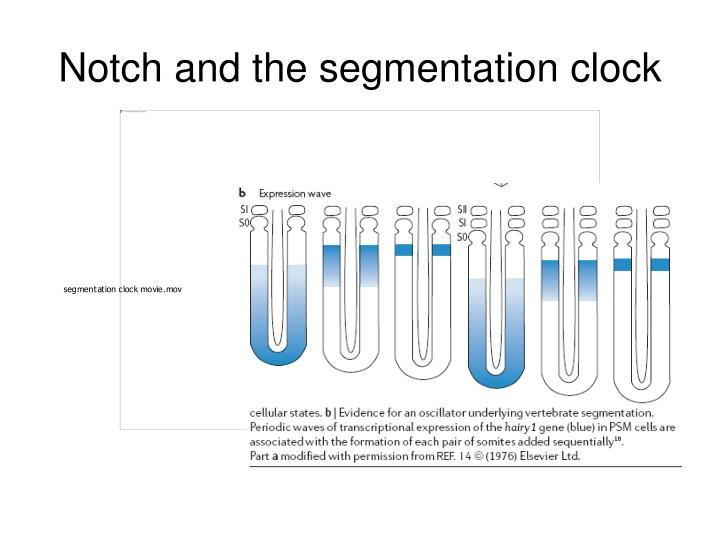 Notch and the segmentation clock