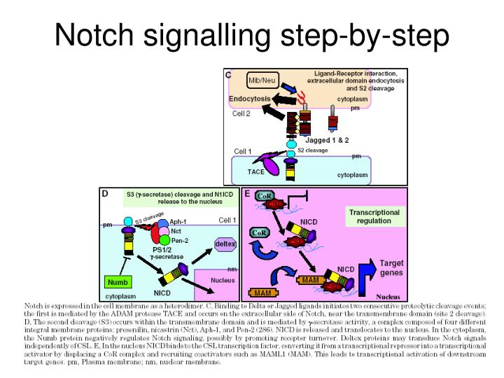Notch signalling step-by-step